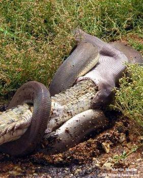 大蛇がワニを飲み込んだ.JPG